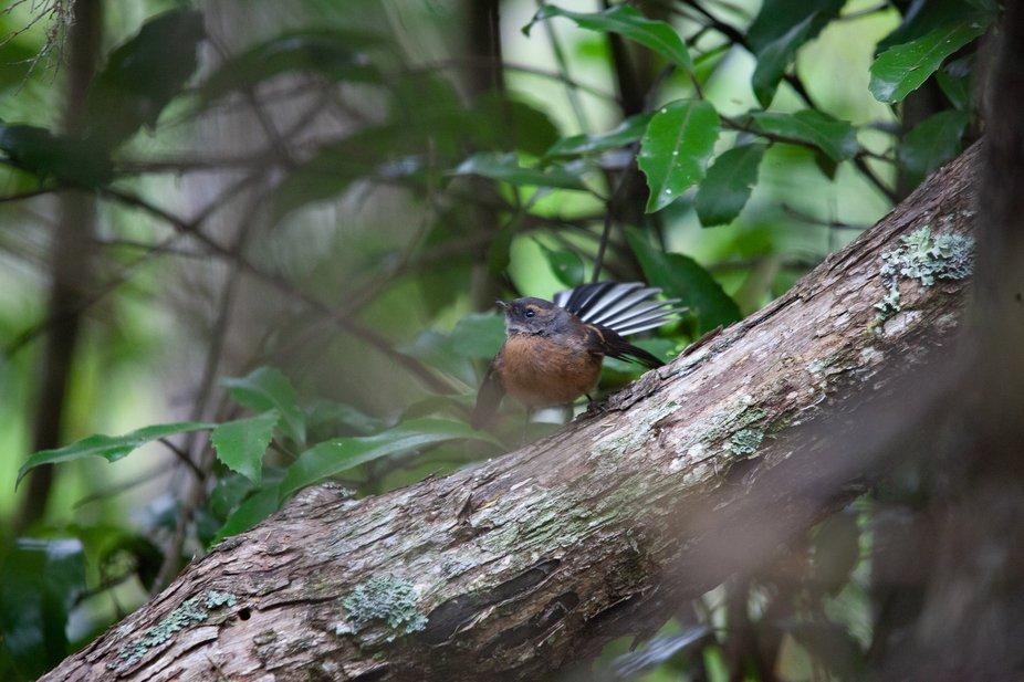New Zealand  Piwakawaka  Fantail