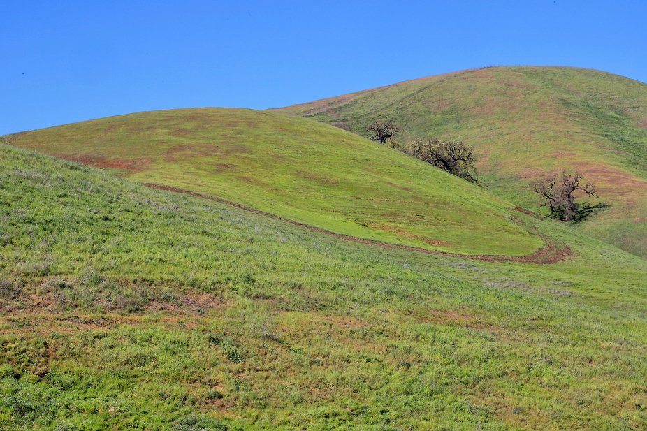 Fiekds of Green.    Californias Coastal Foothills aglow in green beifely before the gooden beown of Summer