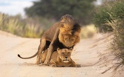 LION-MATING
