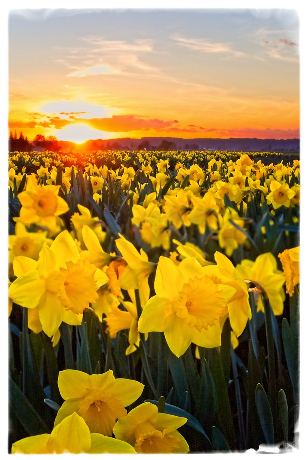 Daffodil field in the Skagit Valley of Washington in full bloom...
