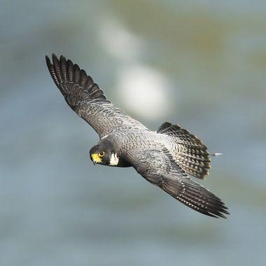 Peregrine Falcon DSC07299