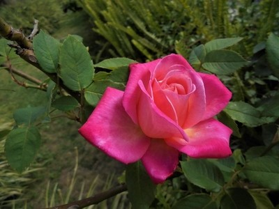 one of my roses