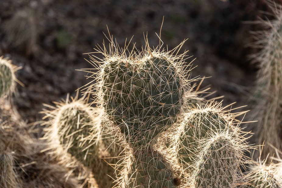 Rare find in the botanical garden in Arizona. Heart shaped paddle cactus with sun catching the sp...