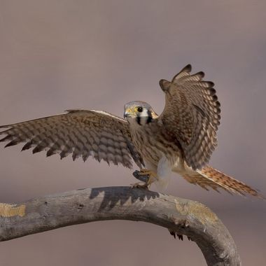 American Kestrel caught (picked up) a piece of rock to tease me and I were so excited thinking it was a huge beetle...