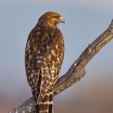 Red-shouldered Hawk IMG_5410