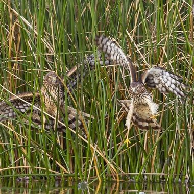 The Juvenile Northern Harrier (on the right) failed to steal the prey (a coot below the one of the left)
