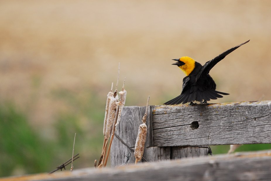 Yellow-headed Blackbird singing his heart out (Waldeck, Sk area - 2019 May 24)
