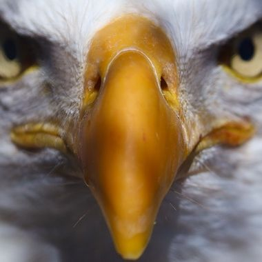 Bald Eagle up close