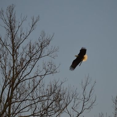 This photo was taken of an eagle flying back to the nest to repair it from wind damage.