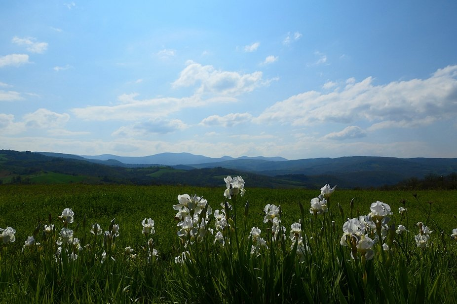 White Lilies with Amerini Mountains in the background, Umbria, Italy
