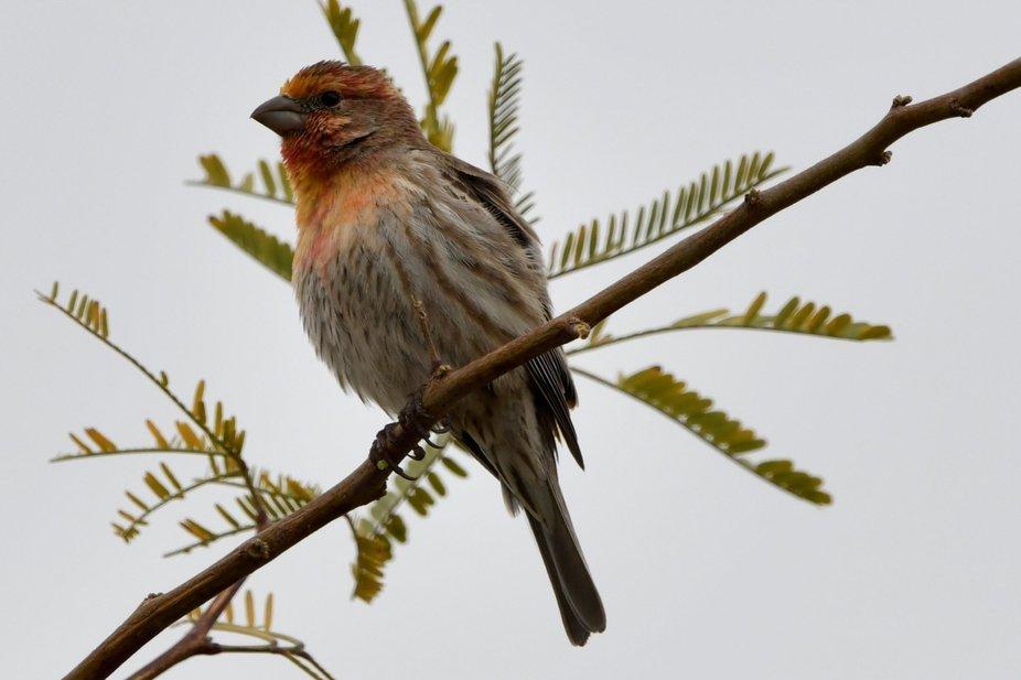 Wild pet male House Finch