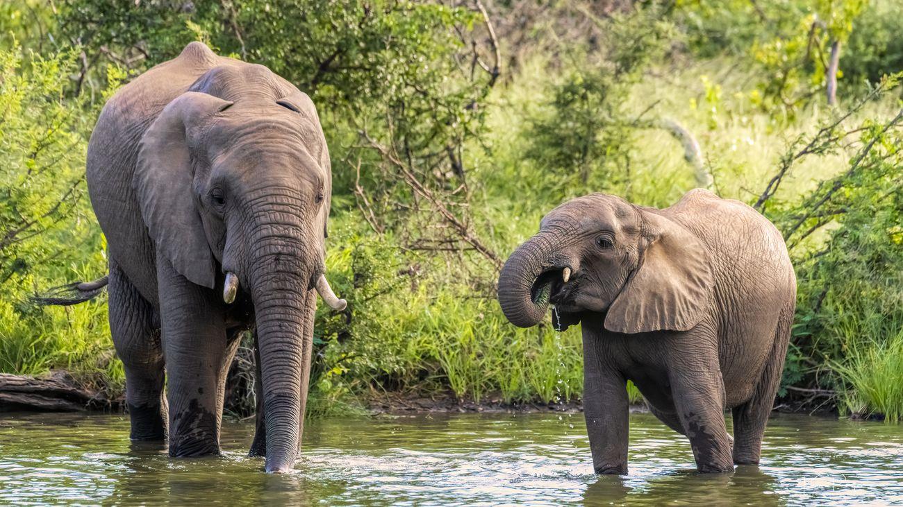 Elephants take a drink 2