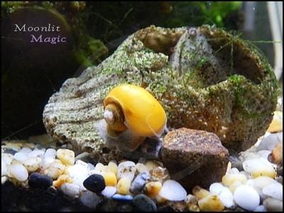 Aquatic Snail on Seashell