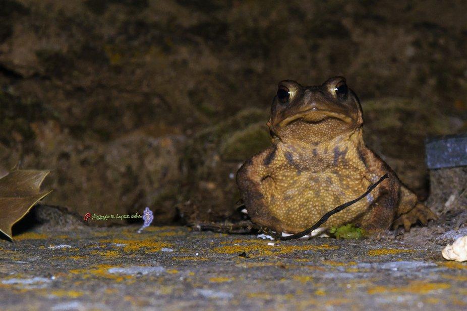 Imagen de un sapo paseando por la noche en busca de su cena.
