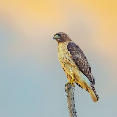 Red-tailed Hawk IMG_1938