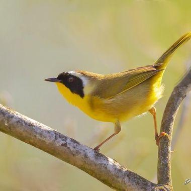 Common-yellow Throat IMG_1276