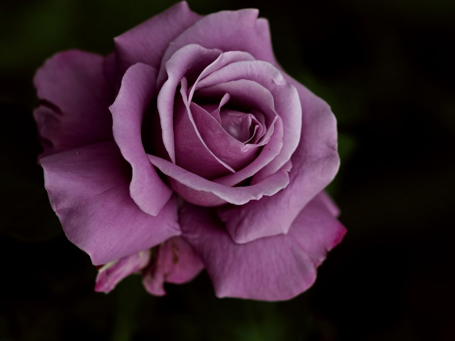 a Charles de Gaulle rose in macro, this is a favourite rose for the sorts of shots as they have a...