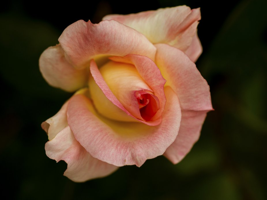 a great macro rose subject with the two colours and good petal definition. playing around with se...