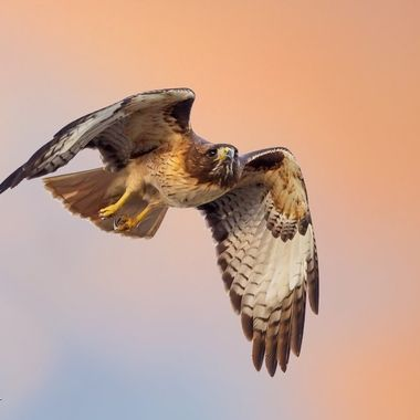 Red-tailed Hawk IMG_1893