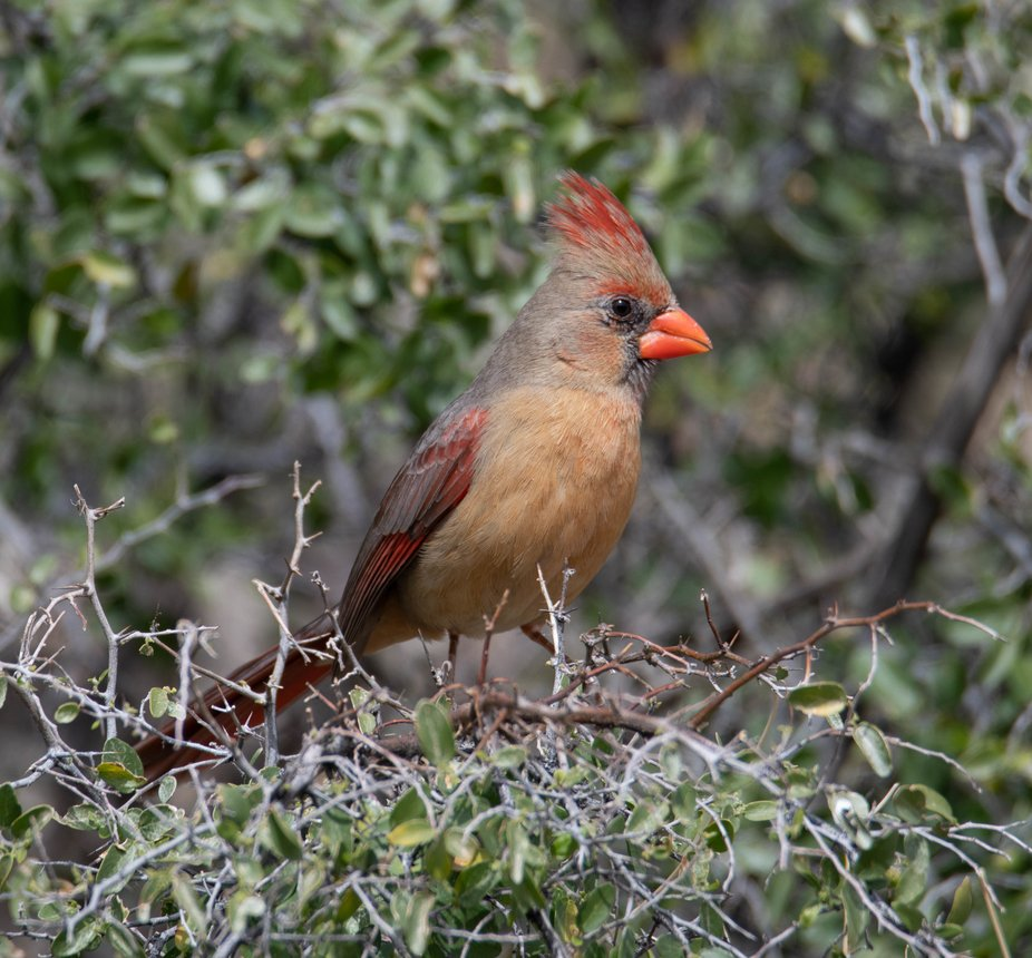 Female Cardinal resting in-between feedings. She was about six months old. She is quite the chara...
