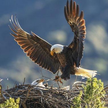 Bald Eagle DSC04235