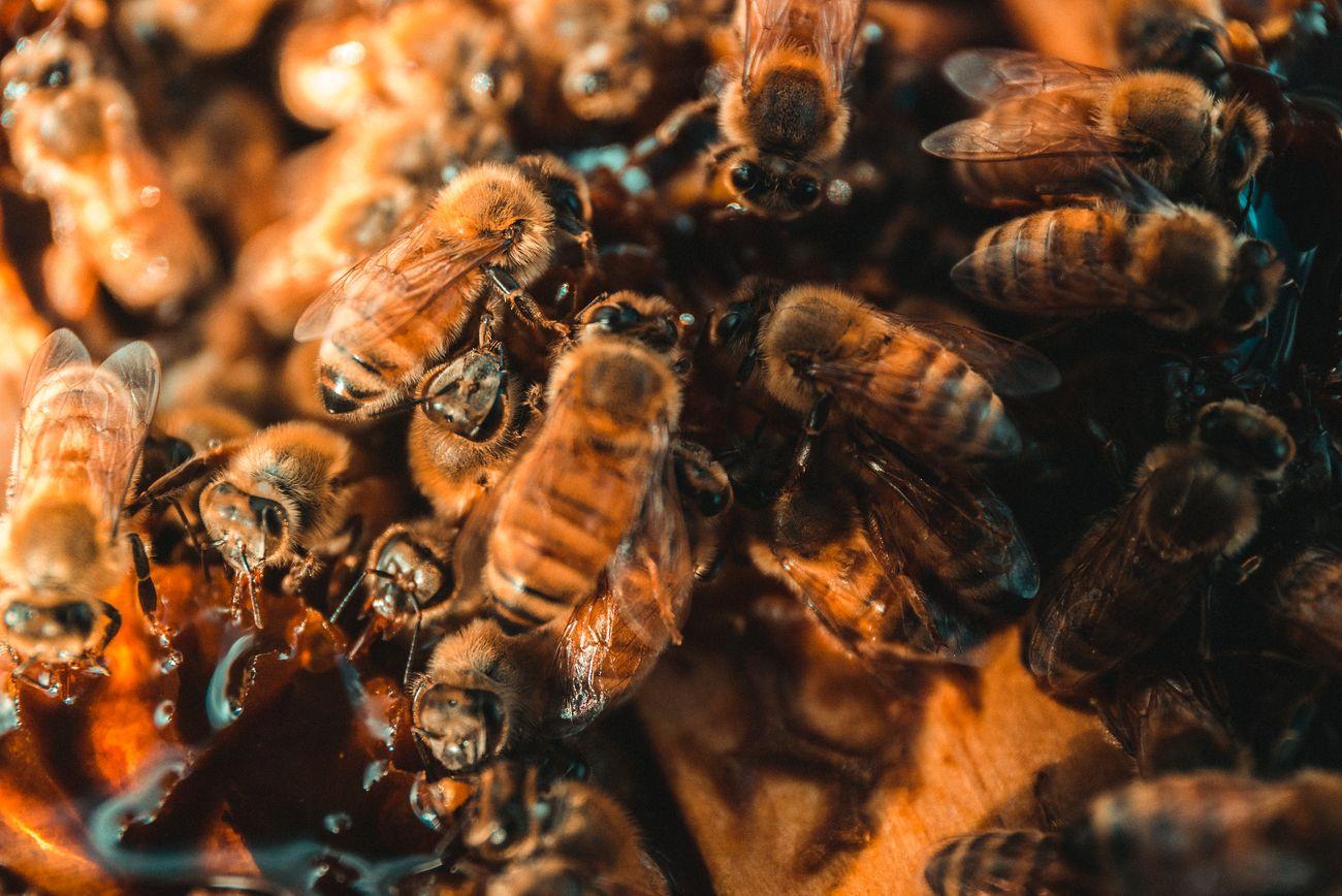 Clockwork orange bees