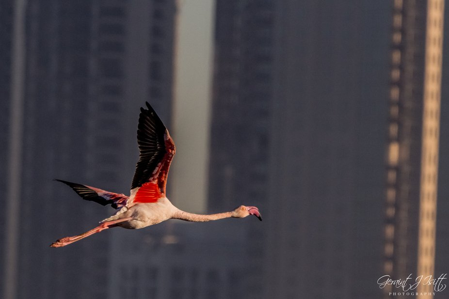 Flamingo against the towers