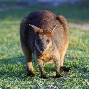 Wallaby in the early morning