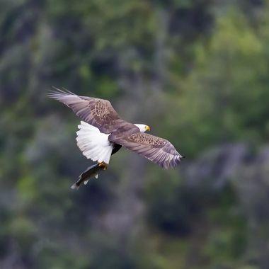 Bald Eagle IMG_0392