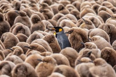 King Penguin's