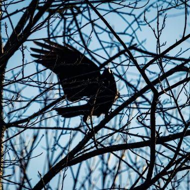 crow wave