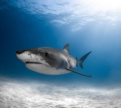 Tiger tiger@spotmydive #tigerbeach #tiger #tigershark #shark #sea #apexpre