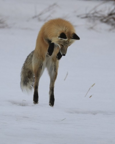 Red Fox Pouncing