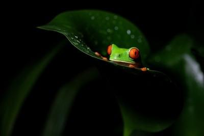 OJOS ROJOS on leaf_