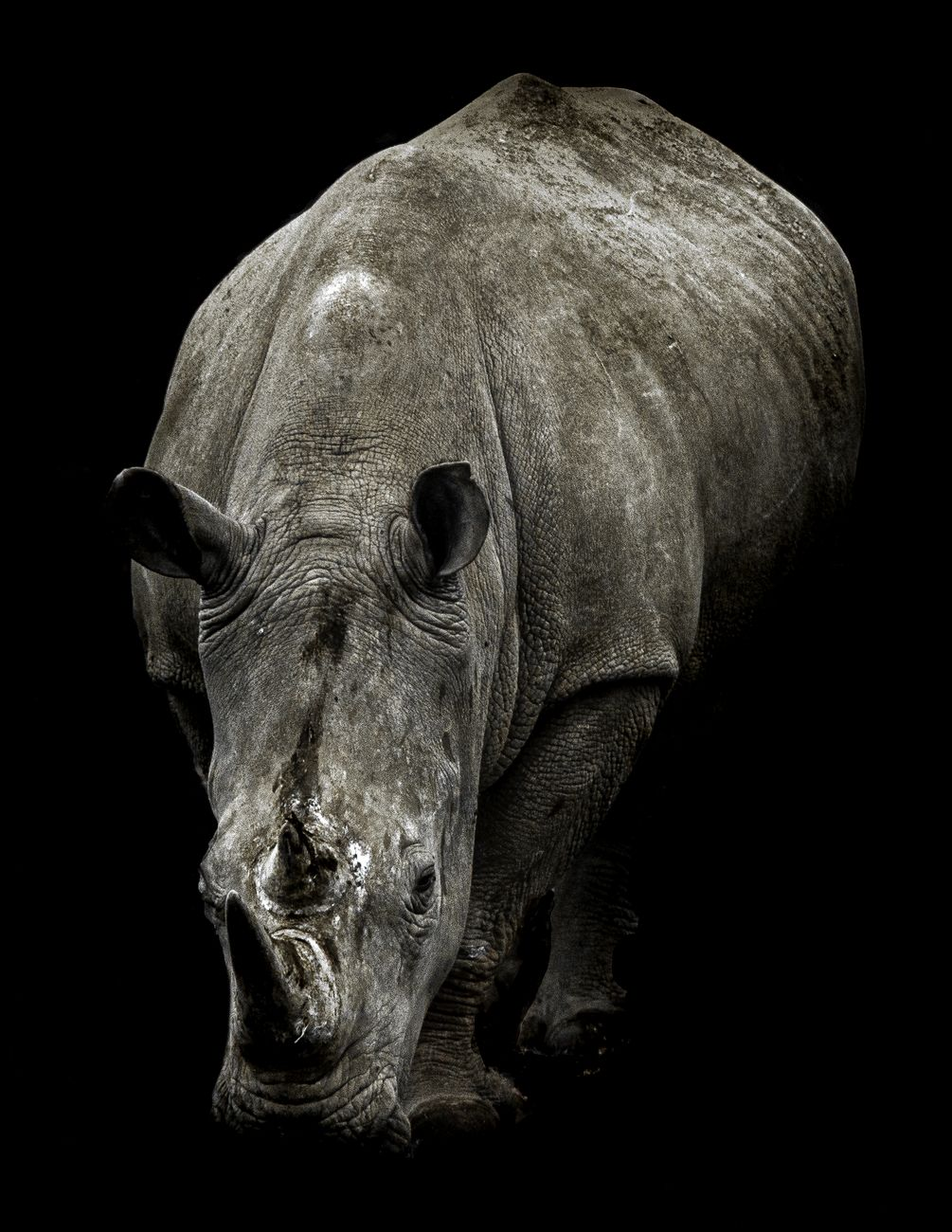 Rhinoceros head on