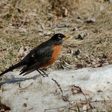 A robin on a patch of old snow.