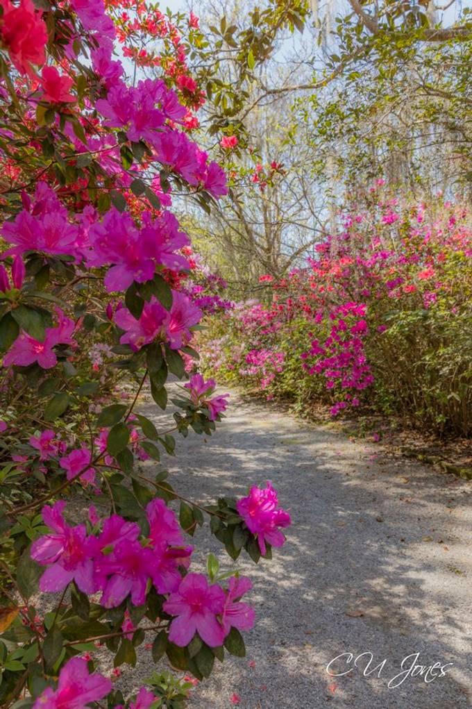 Magnolia Plantations & Gardens