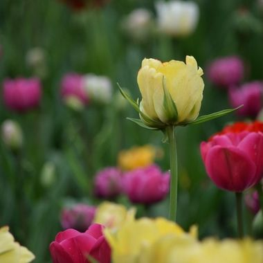 I spent hours in front of this tulip bed and this one tulip simply shon above the rest.  These were beautiful double tulips I had never seen before, almost rose like