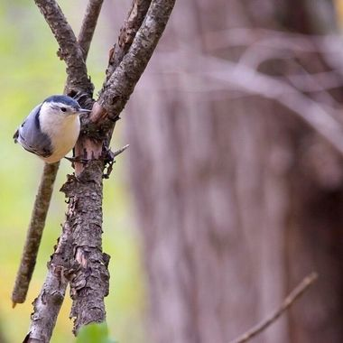 This little nuthatch wanted desperately to get some of the seed that I was feeding other birds     He kept going from branch to branch and almost seemed to pose on this last branch