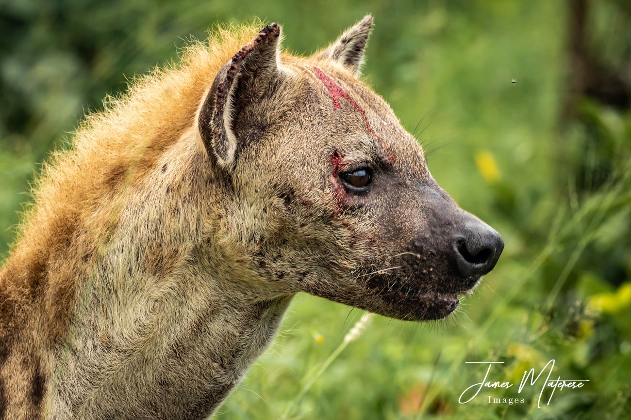 This hyena battled a large male leopard for a kill.  She stole the kill and will have a few good scars to brag about.