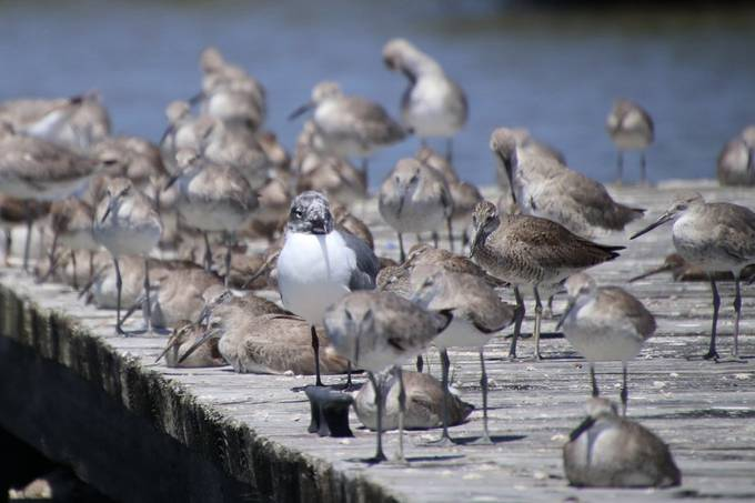 Laughing gull surrounded by Willets and Dowitchers