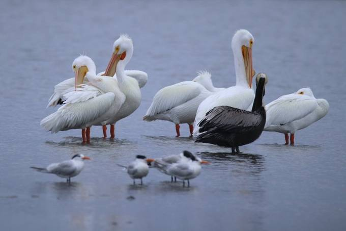 White pelicans in the morning