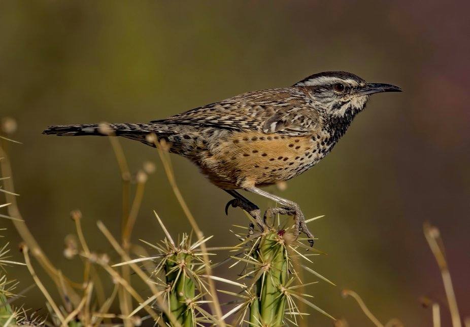 A cactus wren perched on a cactus near the salt River in Arizona. It seemed to have no problem ho...