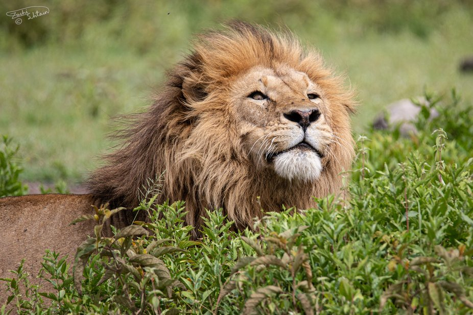 A lion sniffing for its next prey at Ngorongoro Conservation Area, Tanzania