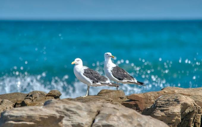 Gulls on the lookout