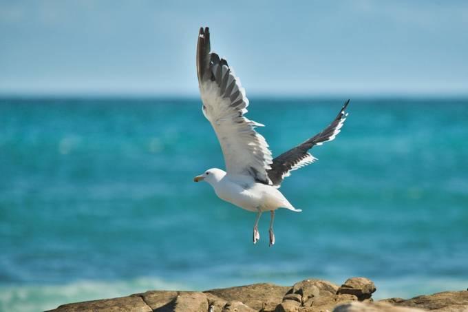 Kelp Gull taking off