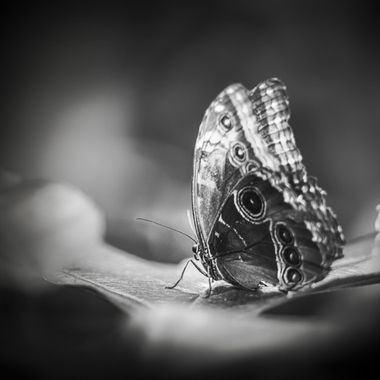 Butterfly in black, white, and gray!