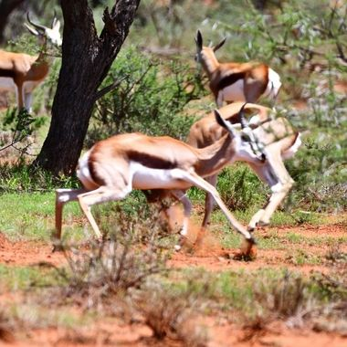 Two young springbuck rams fighting in Mokala National Park.