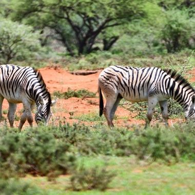 Two Burchell's Zebras in Mokala National Park.