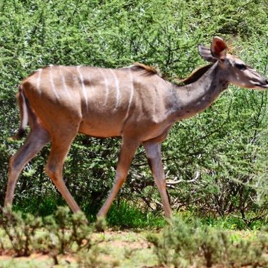 Kudu cow in Mokala National Park.